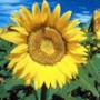 Бесплатная ава из категории Цветы #679