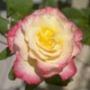 Бесплатная автрака из категории Цветы #685