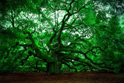 Удивительные деревья нашей планеты (18 фото) (1)
