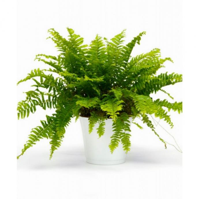 ТОП-5 комнатных растений, которые сделают воздух в доме очень чистым (2)