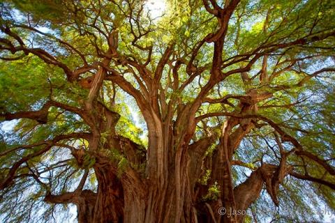 Удивительные деревья нашей планеты (18 фото) (13)