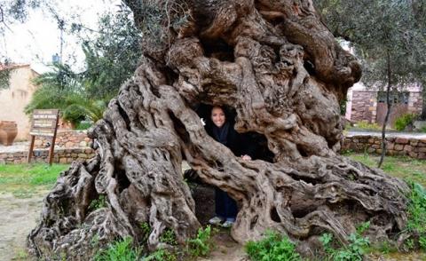 Удивительные деревья нашей планеты (18 фото) (17)