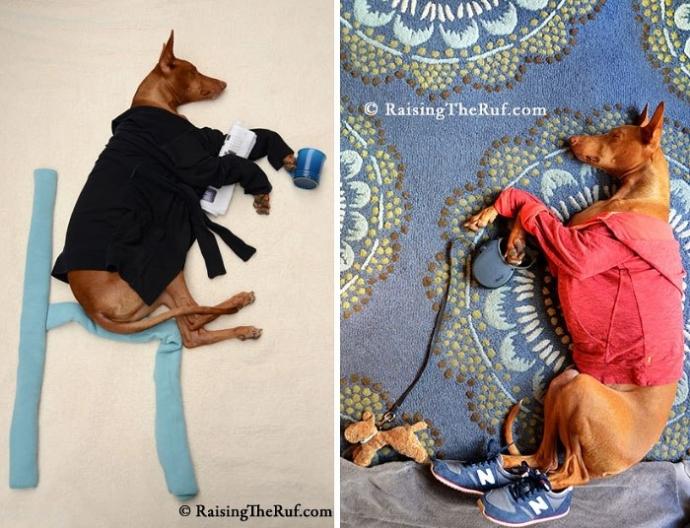 Руфус — собака, которая гуляет во сне (10 фото)