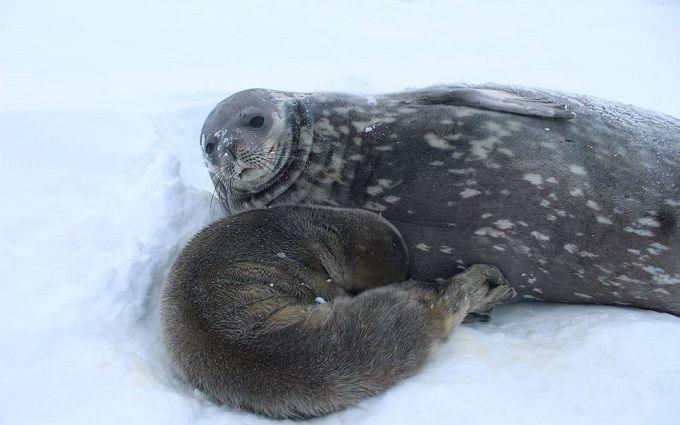 На станции Академик Вернадский родился первый тюлененок - украинцам предлагают придумать имя