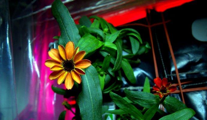 Розпустилась перша квітка на МКС