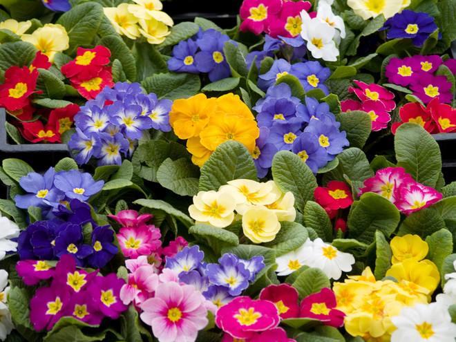Комнатные растения, которые могут навредить ребенку (5)