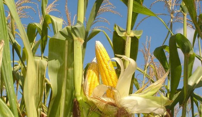 РФ не будет ввозить кукурузу и сою из США из-за заражения продуктов