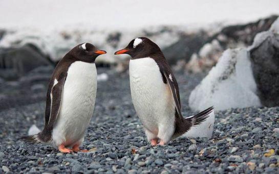 В Антарктиду в розпал зими раптово повернулися пінгвіни - видовищні фото