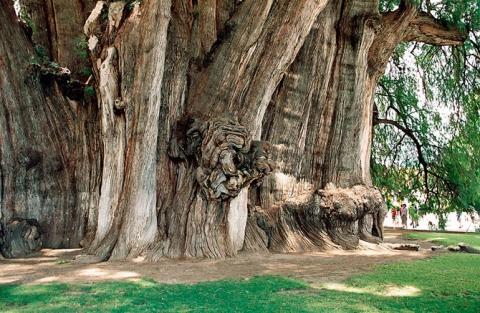 Удивительные деревья нашей планеты (18 фото) (15)