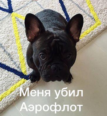Російська авіакомпанія вбила собаку: в мережі хвиля гніву (1)