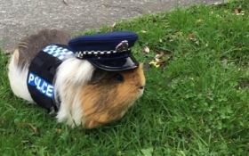 """Морская свинка """"пополнила ряды"""" полиции Новой Зеландии"""
