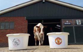 Корова-предсказательница дала прогноз на финал Лиги Европы Аякс - Манчестер Юнайтед: появились фото и видео