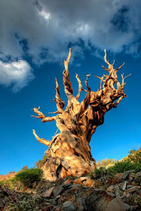 Удивительные деревья нашей планеты (18 фото) (10)