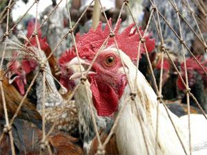 В США зафиксирована вспышка птичьего гриппа