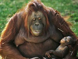 Испания первая в мире предоставила крупным обезьянам права человека