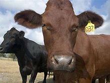 Первый клонированный теленок родился в Иране
