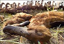 """""""Черный"""" список тех, кому придется умереть во время пандемии птичьего гриппа"""