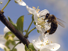 США атакует пчелиный грипп