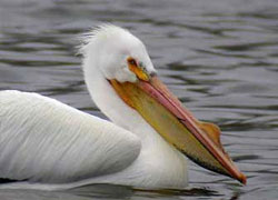 Жительнице Огайо наложили 25 швов после столкновения с пеликаном