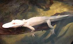 Из бразильского зоопарка похитили аллигаторов-альбиносов