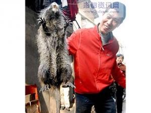 В Китае поймали гигантскую крысу