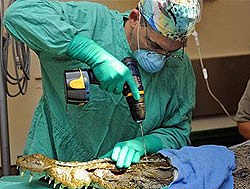 В США крокодилу сделали пластическую операцию (4 фото)