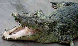 В Австралии муж спас свою жену от крокодила - людоеда