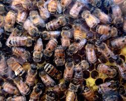 Ученый из Австралии подкармливает пчел кокаином