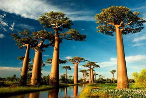 Удивительные деревья нашей планеты (18 фото) (3)