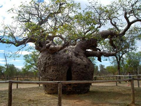 Удивительные деревья нашей планеты (18 фото) (4)