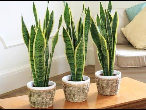 ТОП-5 комнатных растений, которые сделают воздух в доме очень чистым (4)