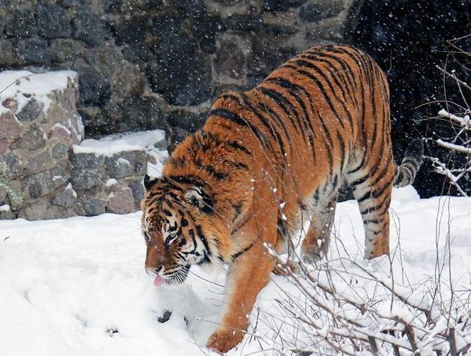 В Киевский зоопарк пришла настоящая зима: опубликованы интересные фото животных