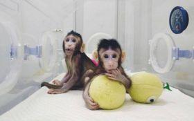 В Китае смогли успешно клонировать обезьян: опубликовано видео