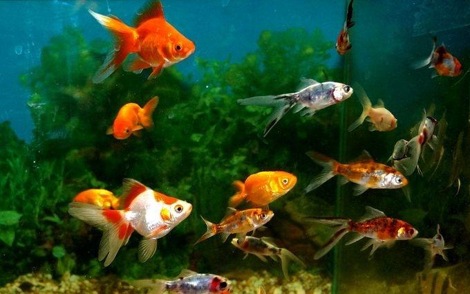 Украинских политиков сравнили с неразумной аквариумной рыбкой