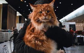 Битва гигантов: в Киеве выбрали самого большого кота