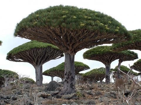 Удивительные деревья нашей планеты (18 фото) (7)