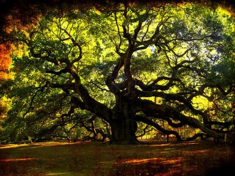 Удивительные деревья нашей планеты (18 фото) (11)