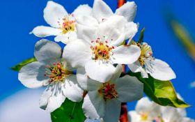 Весняний жовтень: у Запоріжжі розцвіли яблуні - фото