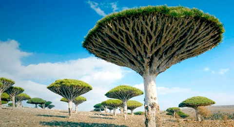 Удивительные деревья нашей планеты (18 фото) (2)