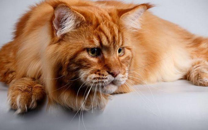Вгосударстве Украина выбрали самого огромного кота