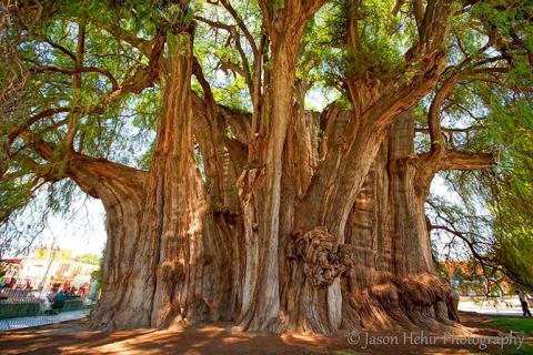 Удивительные деревья нашей планеты (18 фото) (14)