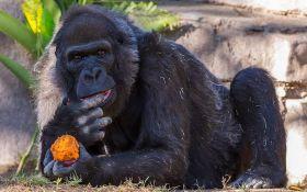 В американском зоопарке умерла старейшая горилла в мире
