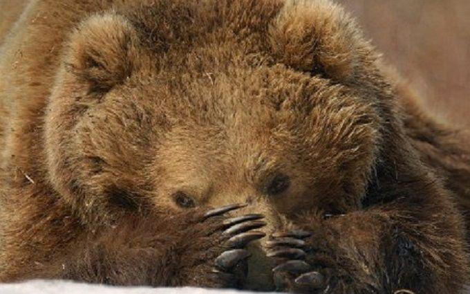 Милиция проверяет сообщение онападении медведя налюдей вБелой Церкви