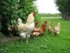 Освещение иутепление кур