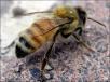 Зимовка пчел вдвухкорпусных, дадановских ульях