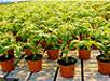 Как высаживать рассаду помидоров?