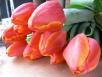 Новые сорта тюльпанов инарциссов