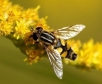 Луковичная муха