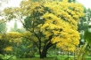 Бархат амурский (пробковое дерево)