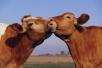 Где держать корову